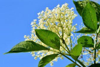 Zova – jedna od najlekovitijih biljaka na svetu