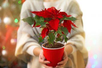 3 biljke bez kojih je nemoguće zamisliti Božić